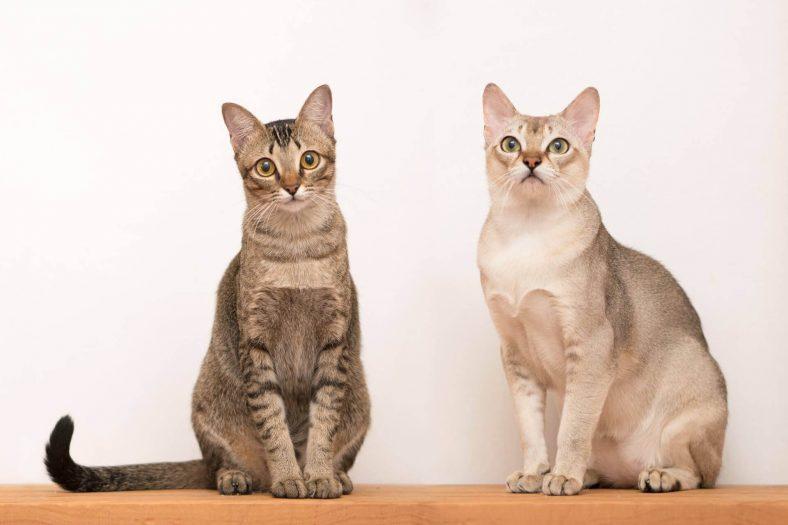 Singapura Kedisi En Az Büyüyen Kedi Cinsi