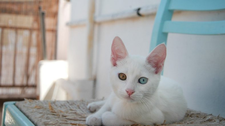Van Kedisi: En Beyaz Kedi Cinsi