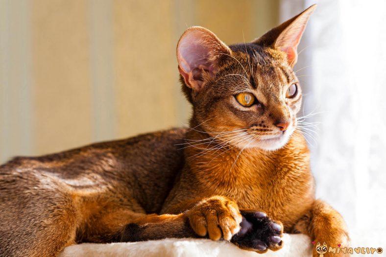 Aslan Burcu: Habeş Kedisi