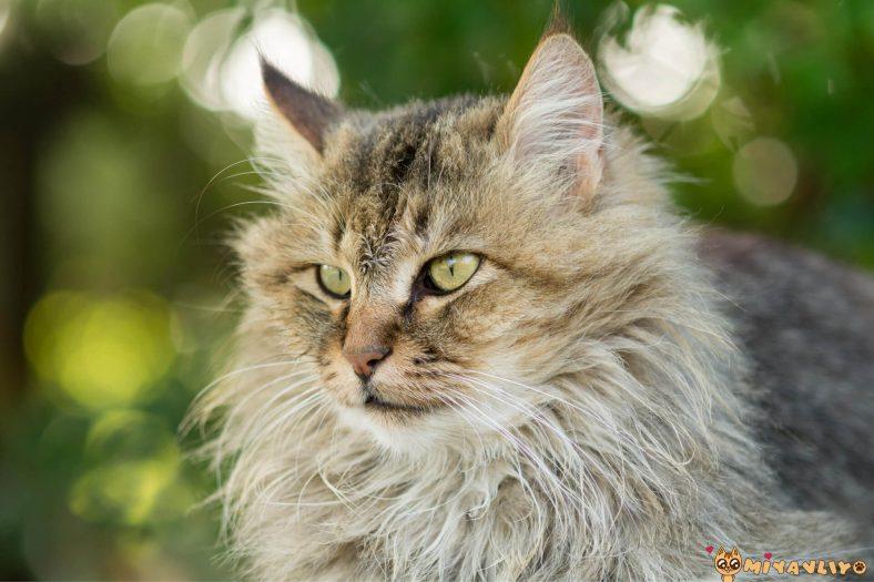 Aslan Burcu Kedi