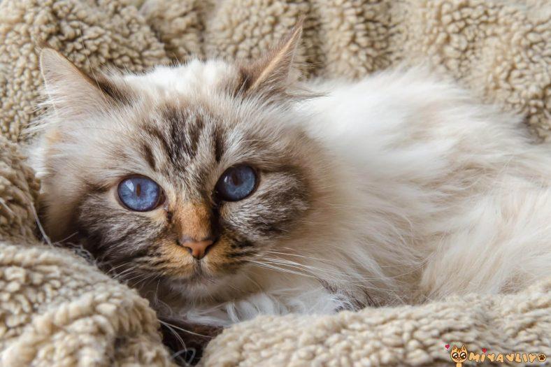 Birman (Burma) Kedilerinde Görülen Genetik Hastalıklar