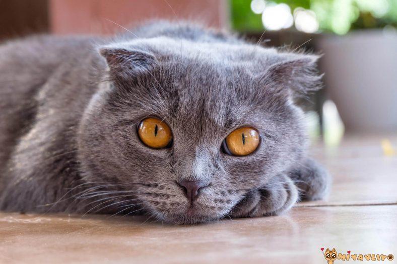British Shorthair Kedilerinde Görülen Genetik Hastalıklar