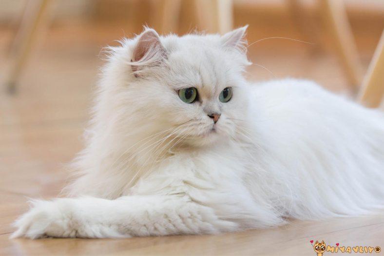 İran Kedilerinde Görülen Genetik Hastalıklar