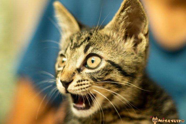 Kova Burcu Kedi