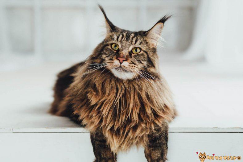 Maine Coon Kedilerinde Görülen Genetik Hastalıklar