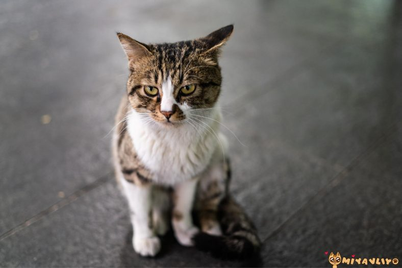 Oğlak Burcu Kedi