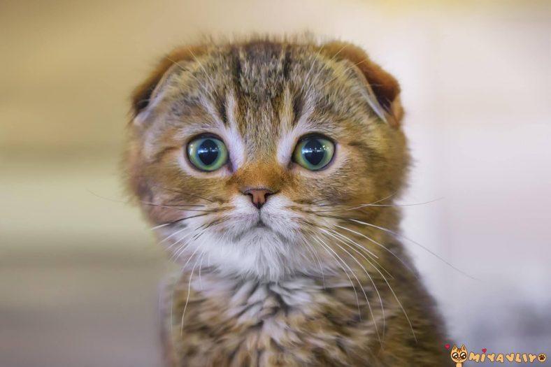 Scottish Fold Kedilerinde Görülen Genetik Hastalıklar