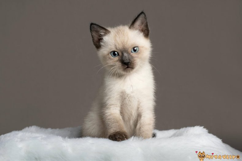 Siyam Kedilerinde Görülen Genetik Hastalıklar
