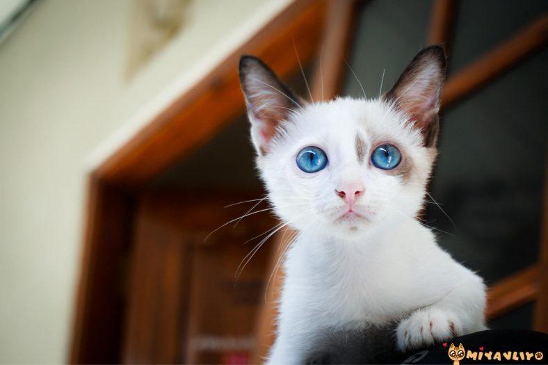 Terazi Burcu Kedi