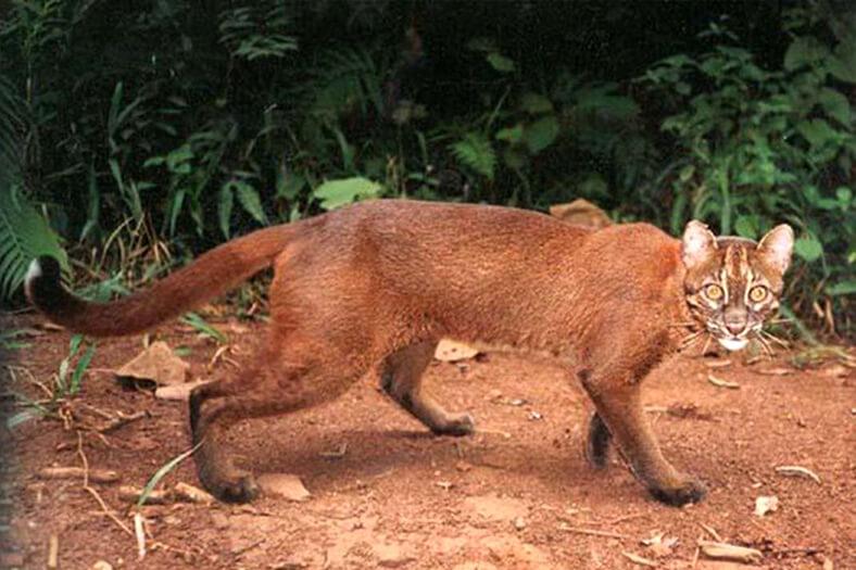 Borneo Altın Kedisi