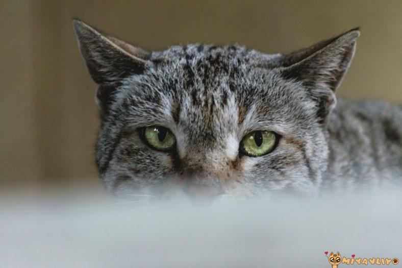 İdeal Erkek Kedi Kısırlaştırma Yaşı