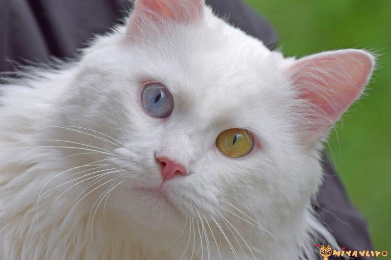Ankara Kedisi: Uzun Tüylü Kedilerin Atası