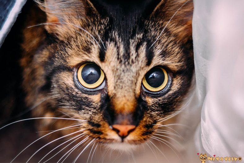 İdeal Dişi Kedi Kısırlaştırma Yaşı
