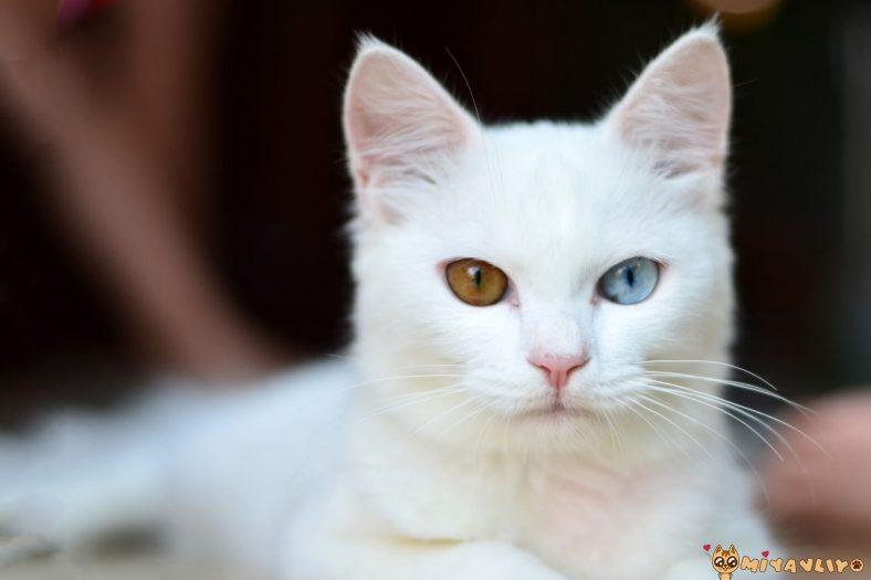 Beyaz Erkek Kedi İsimleri