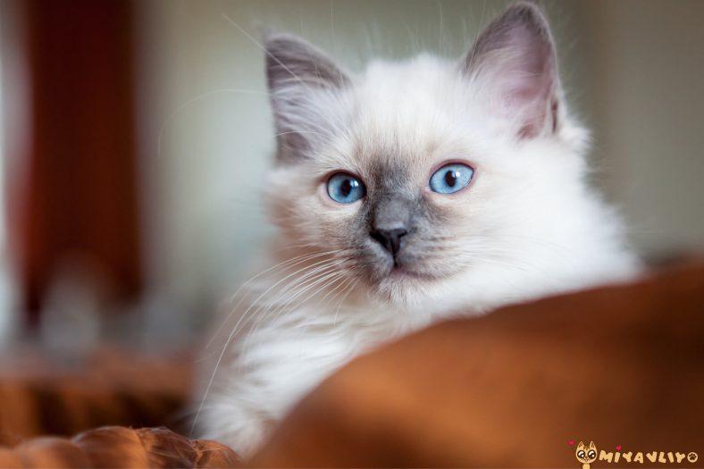 Birman Kedi Yavrusu