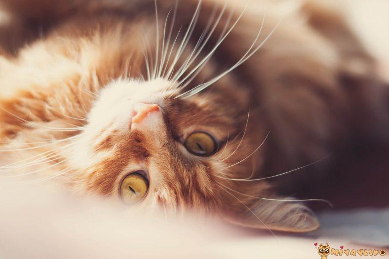 Sarı (Sarman/Turuncu) Dişi Kedi İsimleri