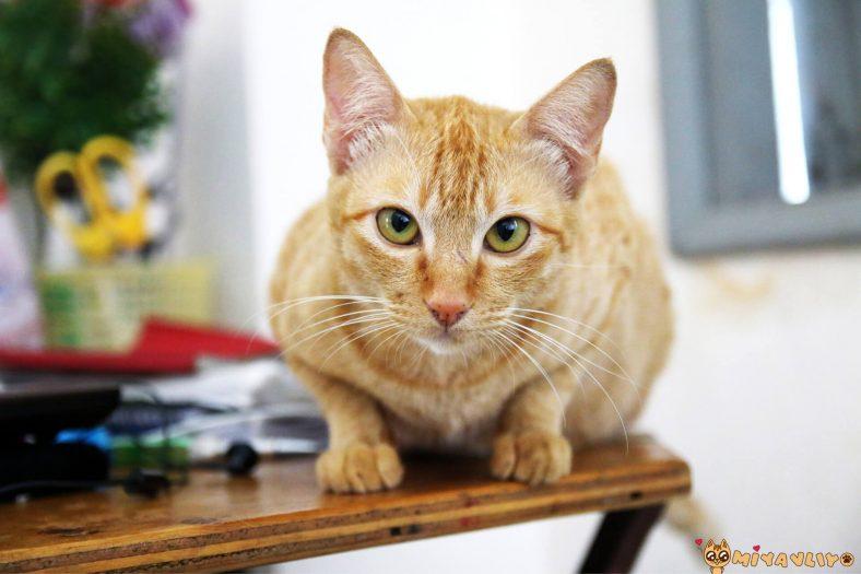Sarı (Sarman/Turuncu) Erkek Kedi İsimleri