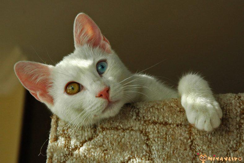 Türkçe (Yerli) Erkek Kedi İsimleri