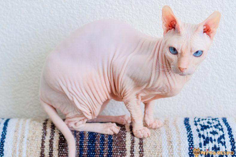 Tüysüz Dişi Kedi İsimleri
