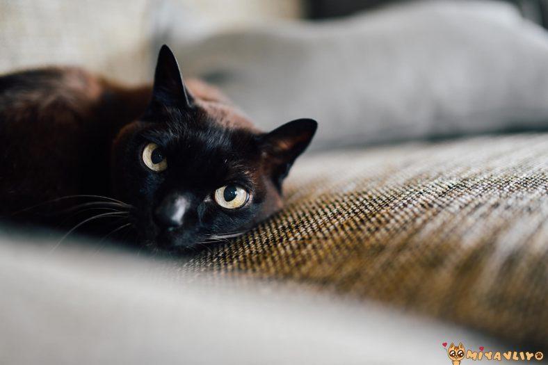 Bombay Kedi Cinsi