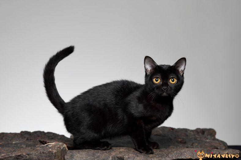 Kara Kedi Bombay Kedisi