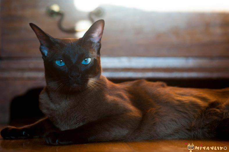 Mavi Gözlü European Burmese