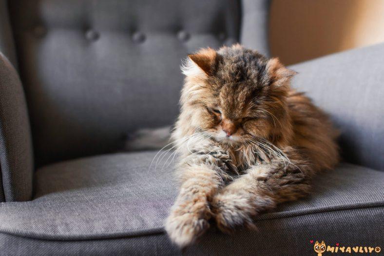 Yaşlı Kedilerin Bakımı
