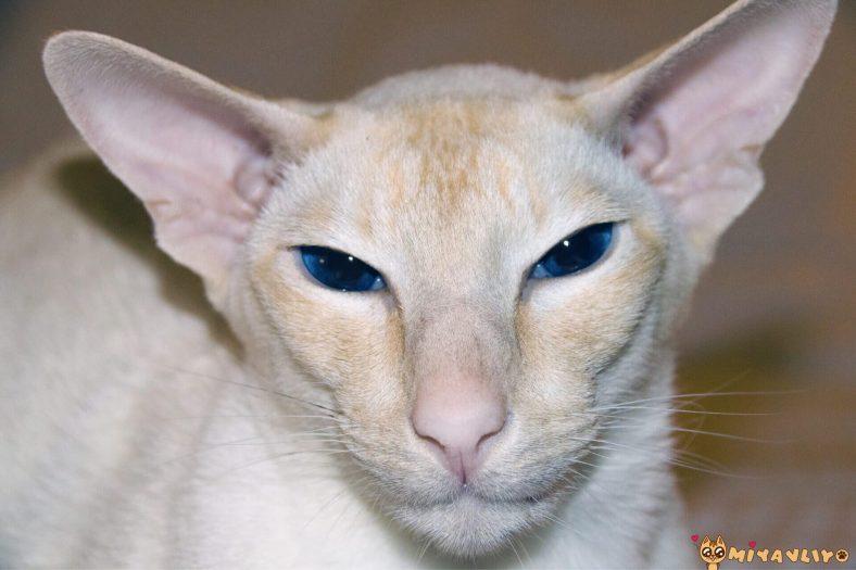 Colorpoint Shorthair Kedi Cinsi