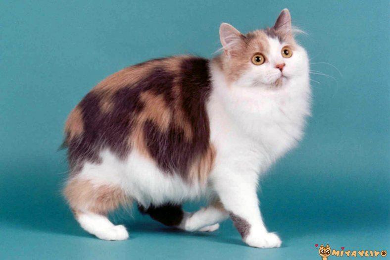 Cymric Kedi Cinsi