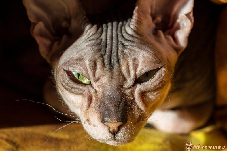 Donskoy Kedi Cinsi