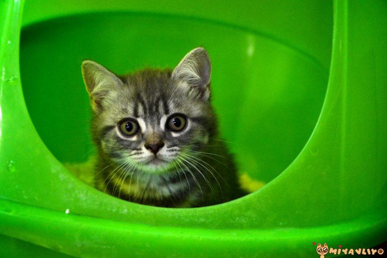 İdeal Yavru Kedi Kakası Nasıl Olmalı?