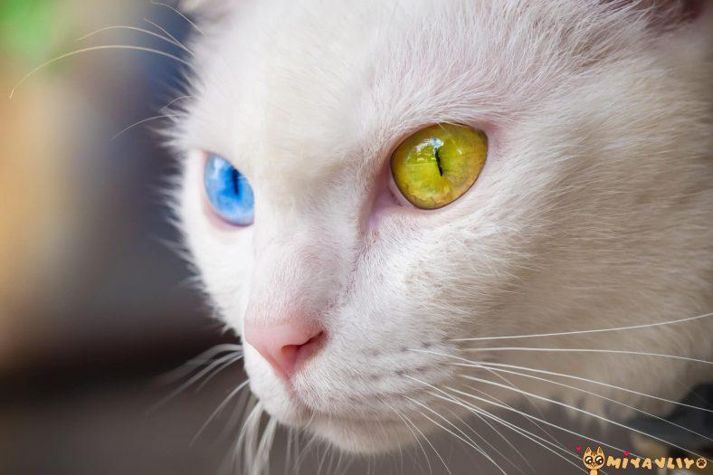 Khao Manee Gözleri
