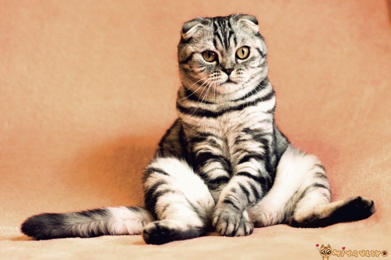 Kızgınlığa Giren Dişi Kedi