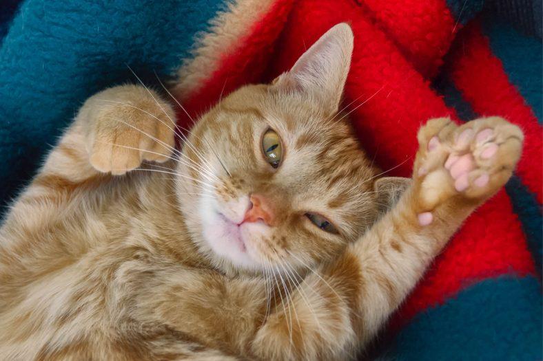 Polidaktili Kedi