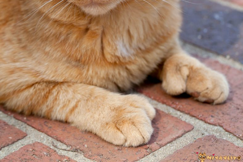 Polidaktili Kedi Patileri