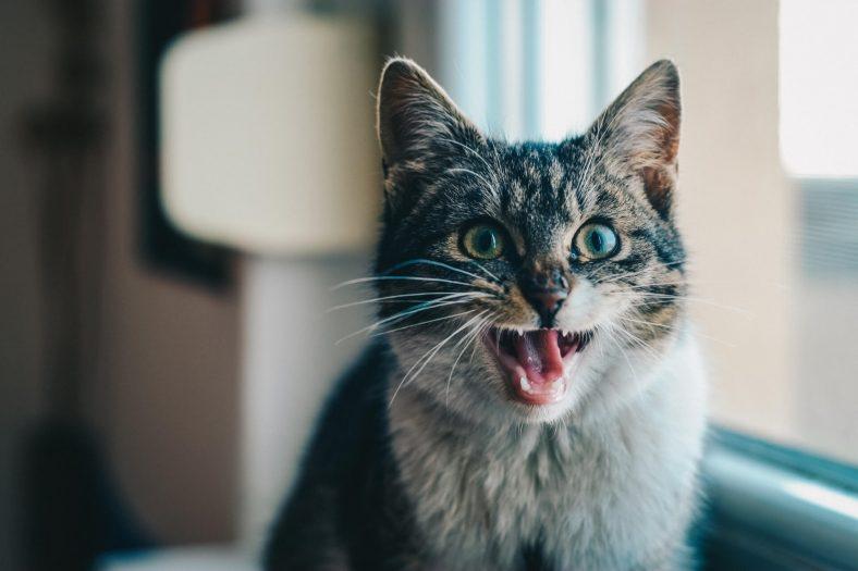Kediler Neden Ağzını Açar?