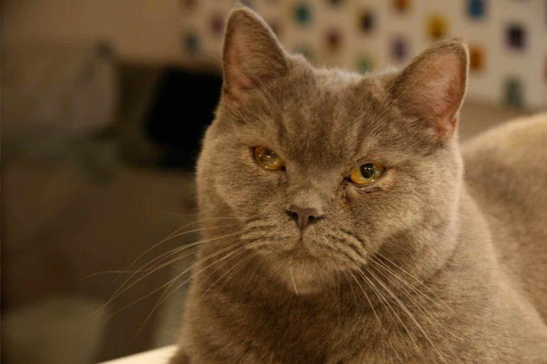 Kedilerde Göz Akıntısının Nedenleri