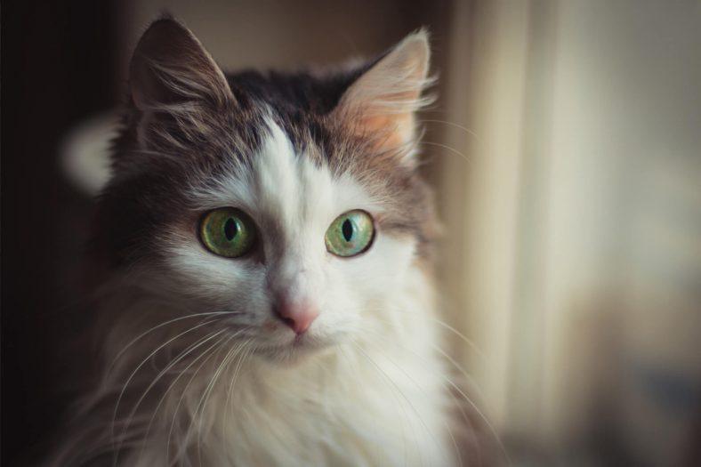 Kedilerde Göz Şişmesi Neyin İşaretçisi?