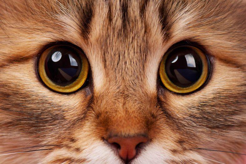 Kedilerde Göz Tansiyonu Nasıl Anlaşılır?