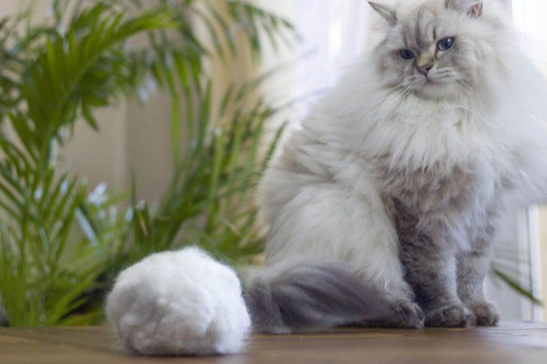 Kedilerin Tüy Yumağı Yutması