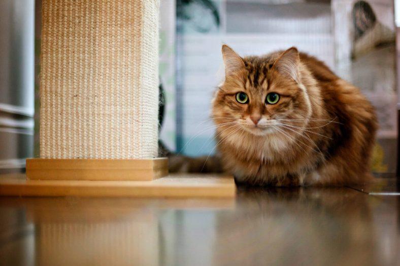 Odaklanmış Sibirya Kedisi