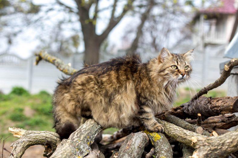 Vahşi Sibirya Kedisi