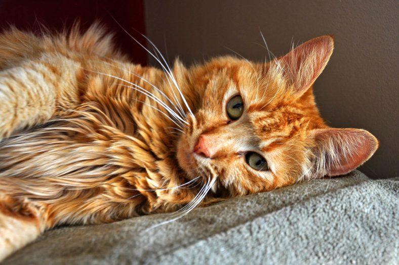 Sarman Kedi Cinsi