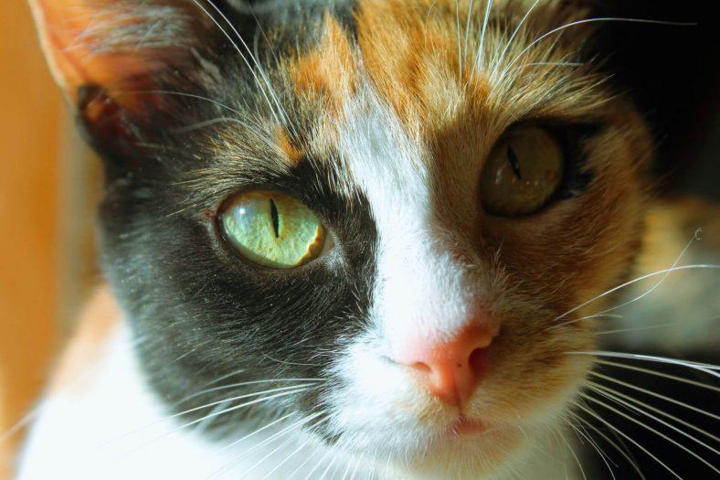 Ege Cinsi Kedi