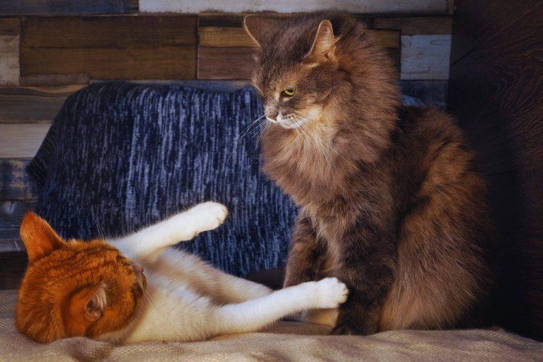 İki Kedi Birbirine Nasıl Alışır?