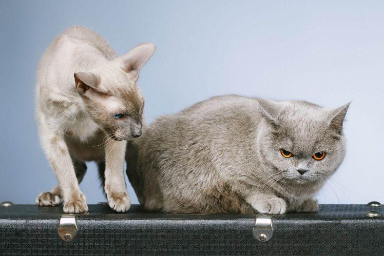 İki Kedi Birbirine Nasıl Alıştırılır?