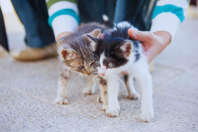 İki Yavru Kedi Birbirine Nasıl Alıştırılır?