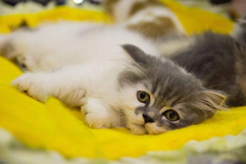 Kedi Çişi Kokusu Nasıl Çıkar?