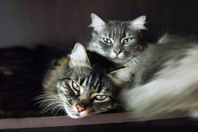 Kediler Birbirine Nasıl Alışır?