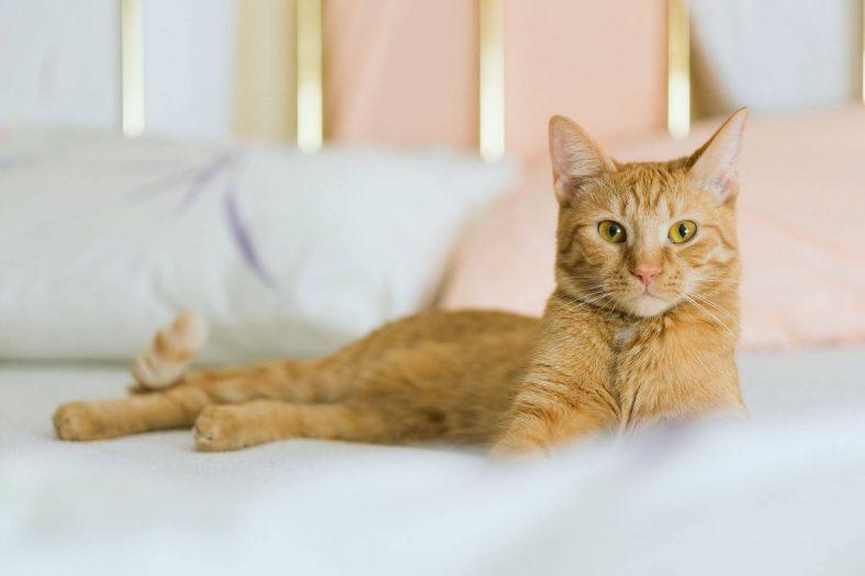 Kedinin Yatağa Çıkması Nasıl Engellenir?
